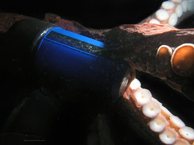 Octopus Attack - NatureDiver Photography