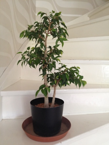 little trees from sweden improving surface roots on a ficus benjamina natasja pt 4. Black Bedroom Furniture Sets. Home Design Ideas