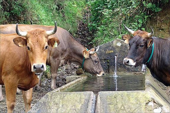 Vacas en el pilón