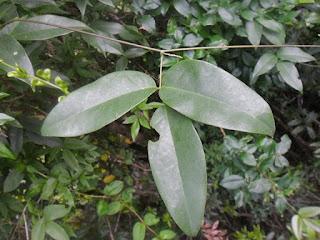 Mucuna urens http://sites.google.com/site/florasbs/home  São Bento do Sul - Santa Catarina