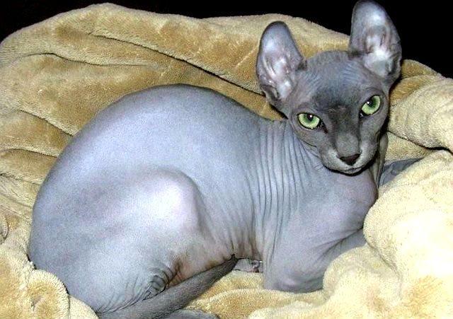Порода Эльф – лысая кошка с загнутыми ушами