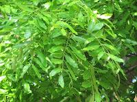 https://lh6.googleusercontent.com/-MrsrredQXNc/T5UA7Llgm2I/AAAAAAAAAdw/ZV5G56IS92E/s1600/African+Mahogany+Tree+-+Leaf.jpg