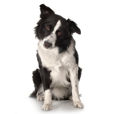 Border Collie Breed sitting in front of a white background and facing the camera