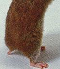hamster%2Btail.jpg