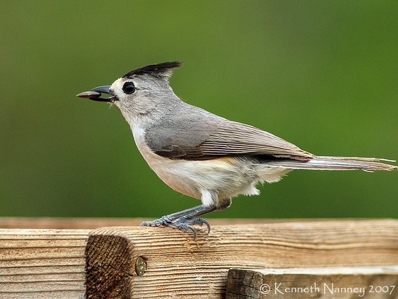 Black crested and tufted titmouse north central texas birds black crested titmouse young county photo by ken nanney sciox Images