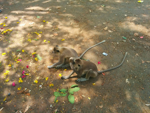 Grey Langurs at Agastyar Falls