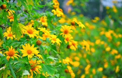 Mộc Châu rực rỡ mùa hoa dã quỳ