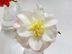 淡桃色地 弁端濃桃ぼかし 牡丹咲き 大輪