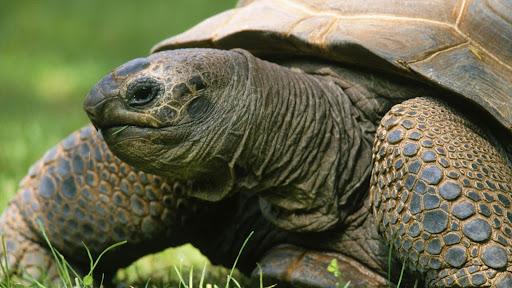 Aldabran Tortoise.jpg