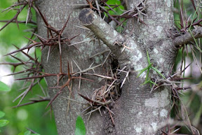 Common Honey-locust