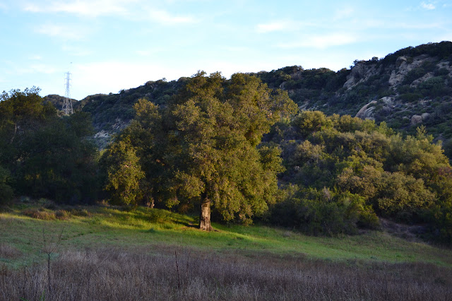 the first light hits the large oak tree