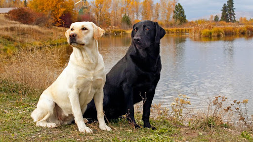 At the Lake, Yellow and Black Labrador.jpg