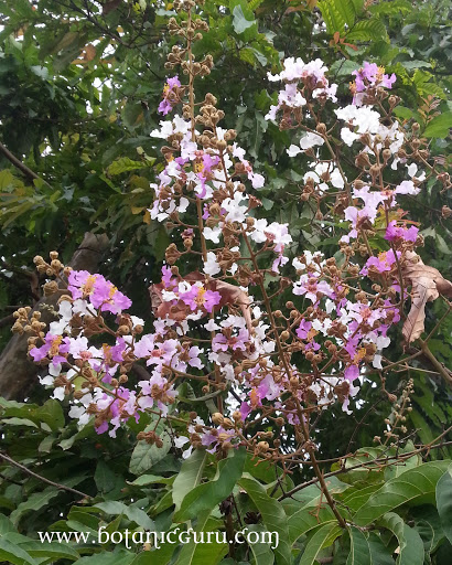 Lagerstroemia floribunda, Rose Of India flower