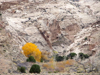 Colorful cottonwood tree at the mouth of a Reef canyon