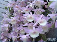 宛如千紙鶴般的天宮石斛蘭(瀑布蘭)Dendrobium aphyllum