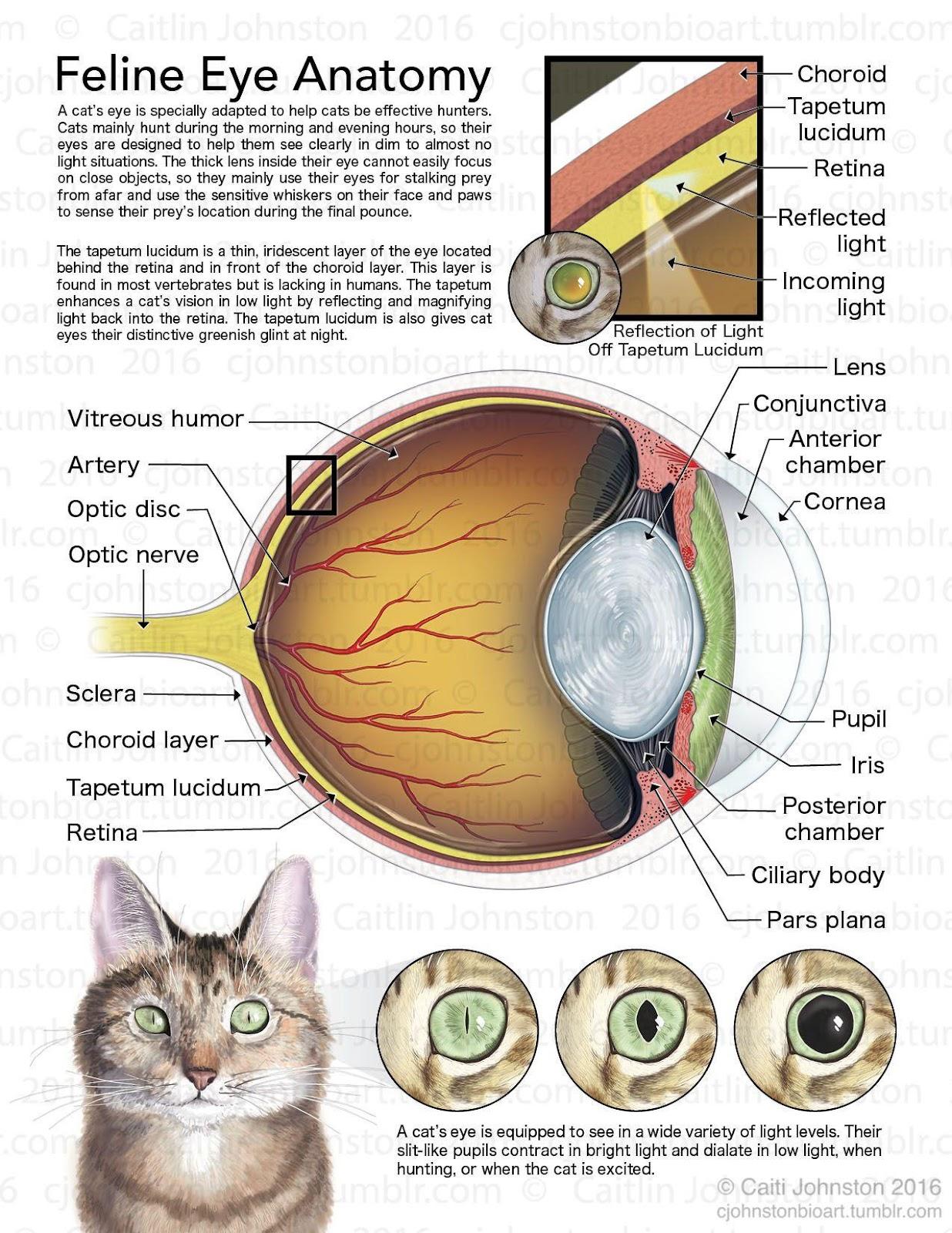 Kết quả hình ảnh cho cat eye structure
