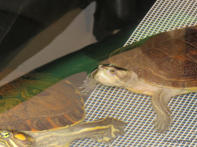 mes tortues (BK) - Page 10 IMG_2115