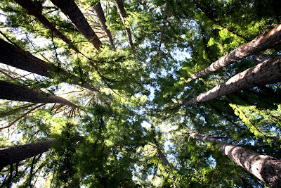 Redwood Trees in Portola Valley
