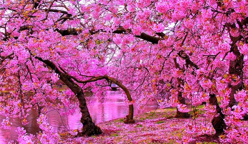 6000+ Gambar Bunga Sakura Paling Cantik HD Terbaru