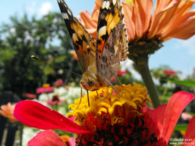 fluture culegand polen