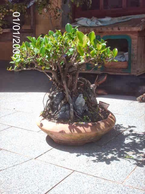 Ficus Microcarpa do Roberto Teixeira... PICT2385