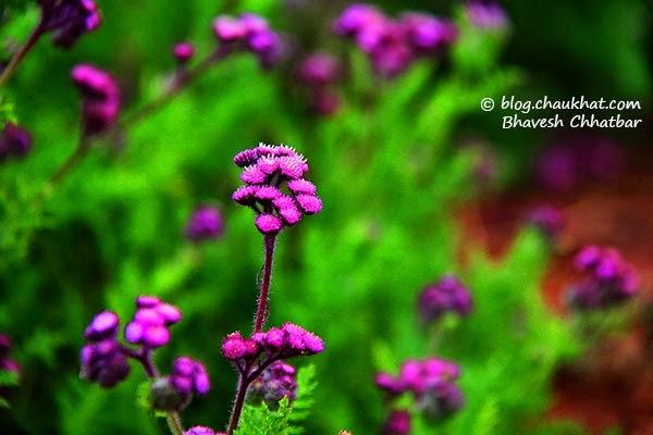 Gangotra flower [AKA Bandhaniya / बनधनिया, गंगोत्रा, Gal phulle / गल फुल्ले] - scientific name: Cyathocline purpurea - of sunflower family [Asteraceae] - Synomyms: Tanacelum purpureum, Cyathochine lyrata