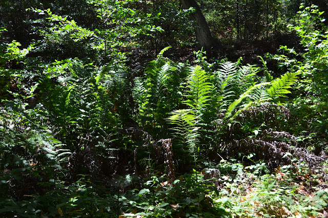 giant ferns in the canyon