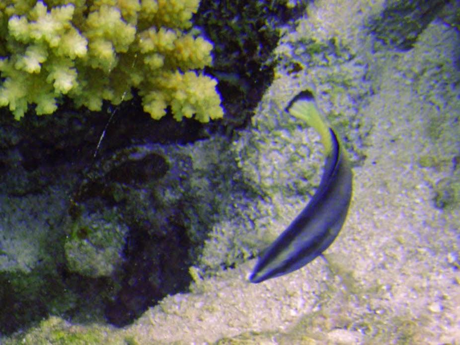 Labroides bicolor (Bicolor Cleaner Wrasse), Aitutaki.