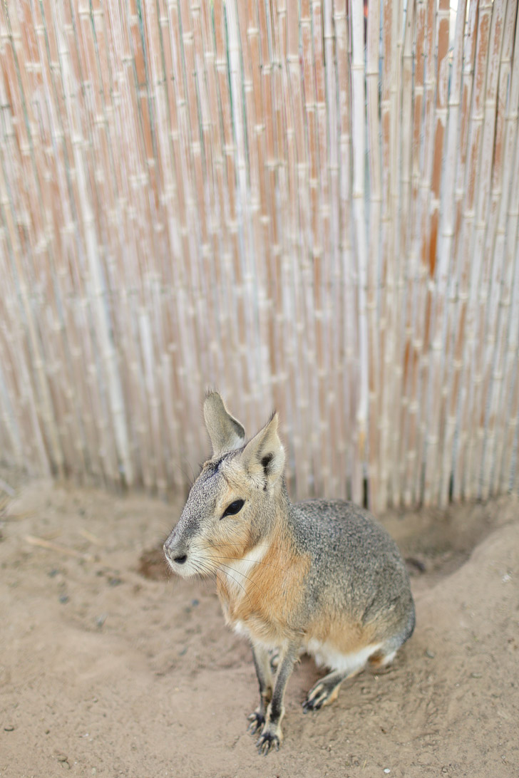Patagonian Mara // Animals in Las Vegas Exotic Petting Zoo.