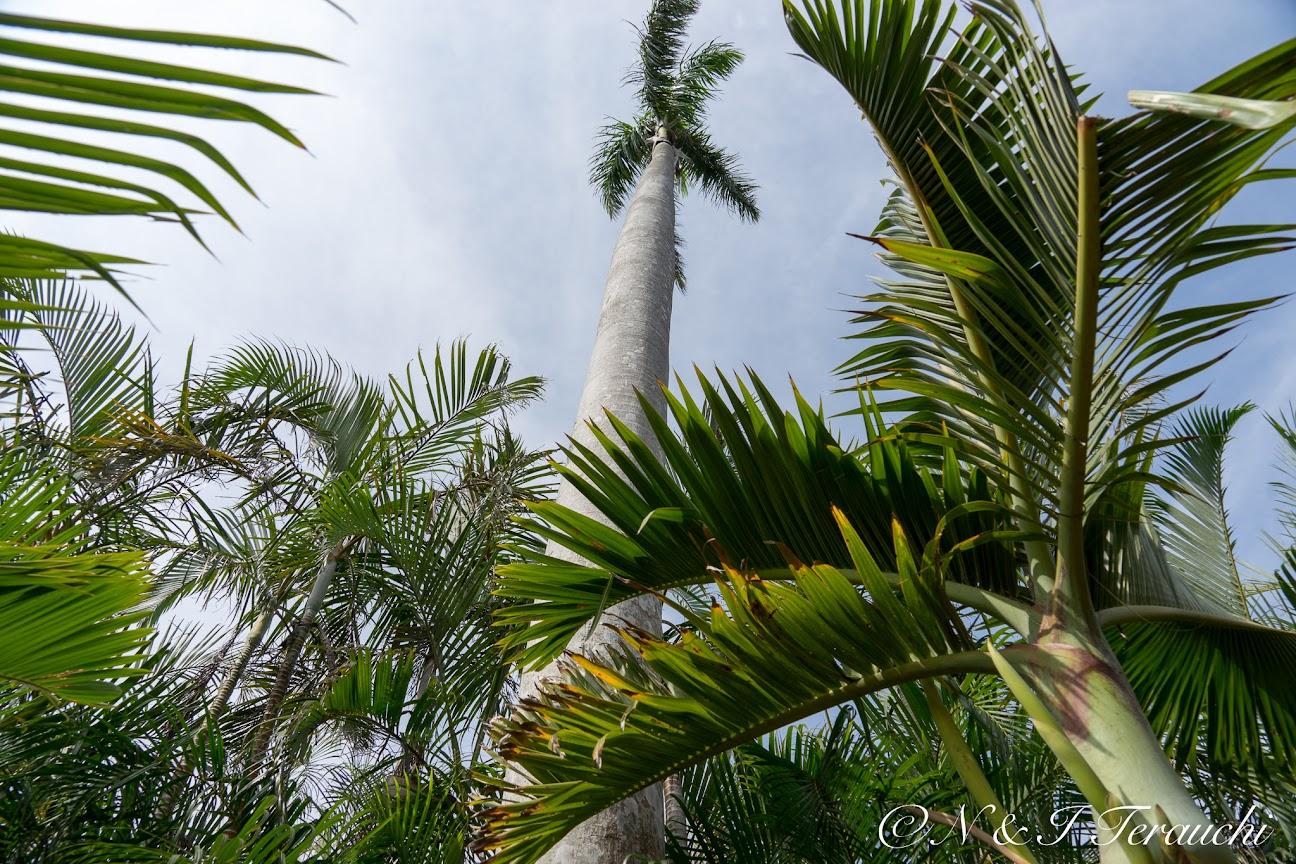 巨大ヤシの木「ヘゴ」