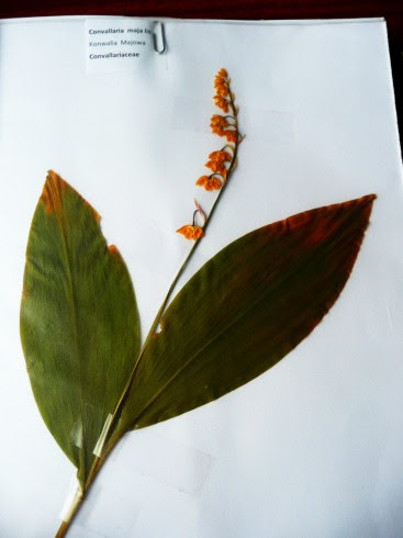Konwalia majowa Convallaria majalis okaz zielnikowy
