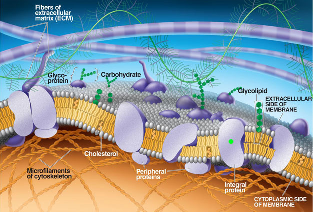 Fluid Mosaic Model of Cell Membrane Structure