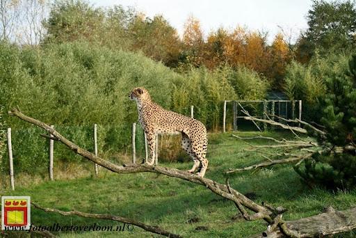 cheetahs vieren hun eerste verjaardag Zoo Parc Overloon (3) 11-11-2012.JPG