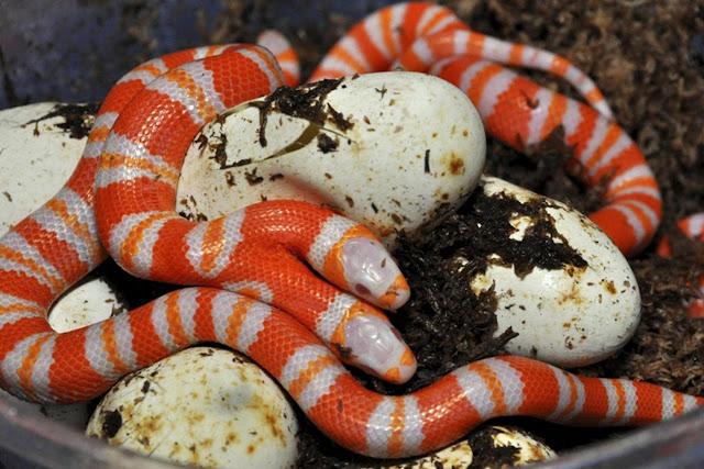 Parakseno.gr : fidi Σπάνιο: Δικέφαλο φίδι αλμπίνος αξίας... 25.000 δολαρίων!!!(PHOTOS+VIDEO)
