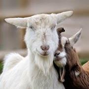 К чему снится коза женщине?
