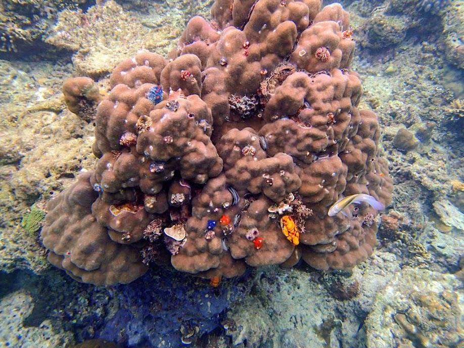 Christmas Tree Worm Rock, Miniloc Island Resort reef, Palawan, Philippines.