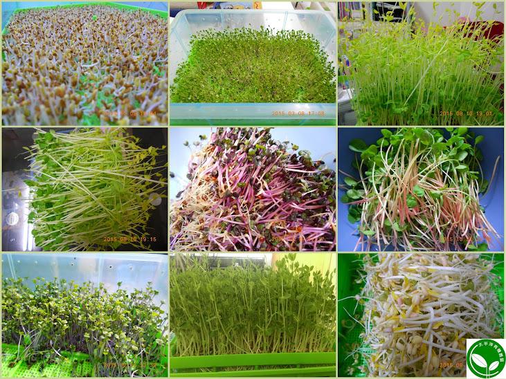豆芽,發芽,生機飲食,如何種豆芽菜,發芽豆漿,如何種豆芽菜,催芽豆漿,如何孵豆芽,自己孵豆芽,豆芽食譜