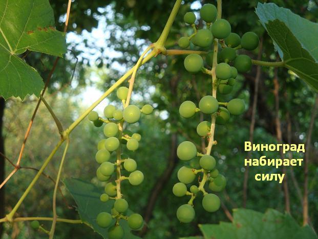 фрукт зеленй маленький