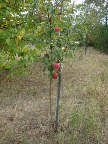 яблонька малыш