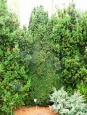 Cis pospolity odmiana kolumnowa Taxus baccata fastigiata