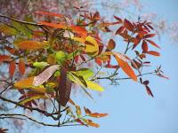 https://lh6.googleusercontent.com/-NpdFQybUc1k/T2_vbcwFSLI/AAAAAAAAAAM/gZ8t9m4k6Ac/s1600/Kusum+Tree+-+Tender+Leaf.jpg