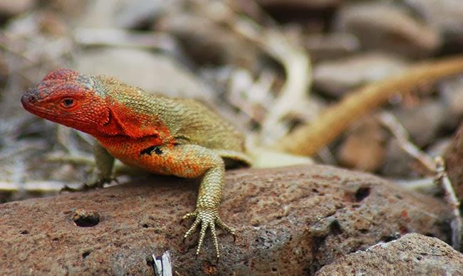 Lava Lizard on Española Island