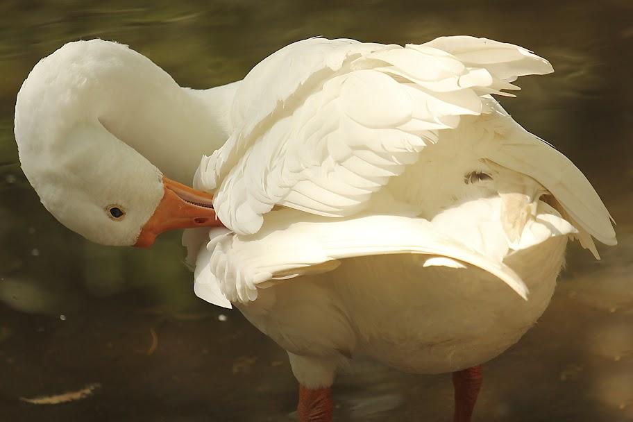Vandalur Zoo - White Goose