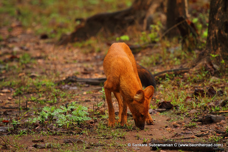 Wild Dog at Nagarhole...following the scent trail