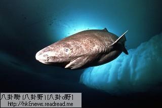 尼斯湖水怪不存在 是格陵蘭鯊魚作怪? - 格陵蘭鯊魚