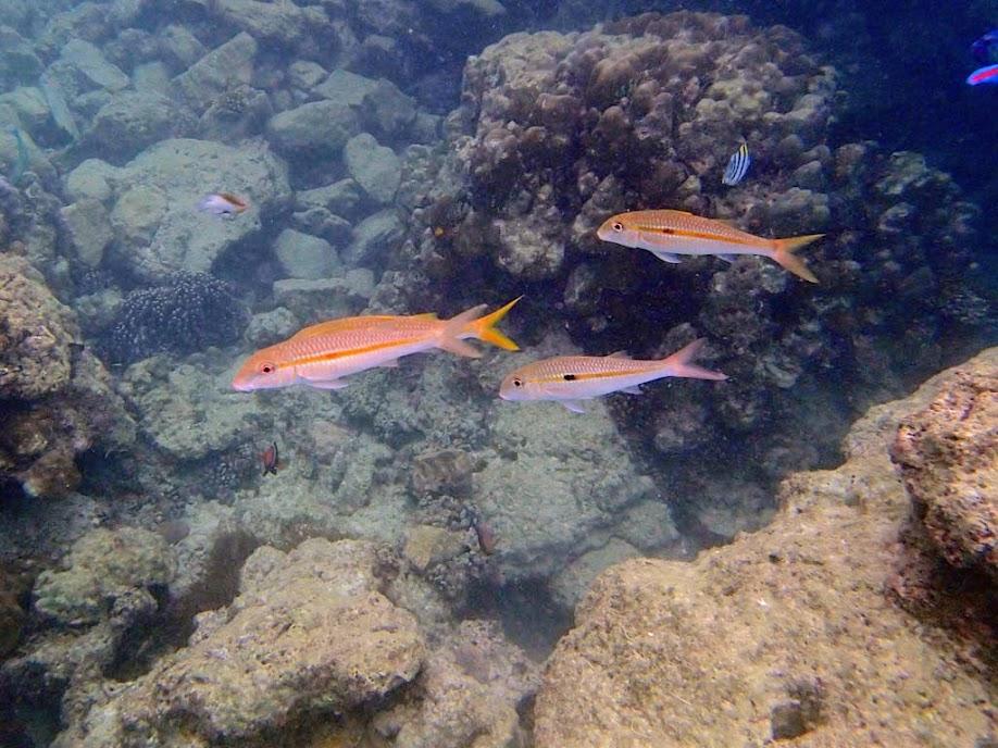 Mulloidichthys flavolineatus (Yellowstripe Goatfish), Miniloc Island Resort reef, Palawan, Philippines.