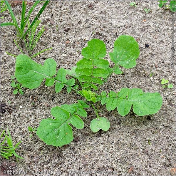 Raphanus raphanistrum - Rzodkiew świrzepa pokrój młodej rośliny