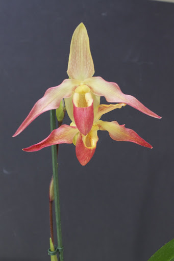 Phragmipedium Eric Young IMG_1489