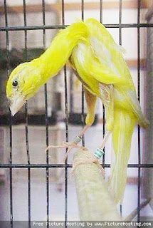 kenari+giboso Jenis   Jenis Burung Kenari