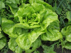 lettuce in home garden